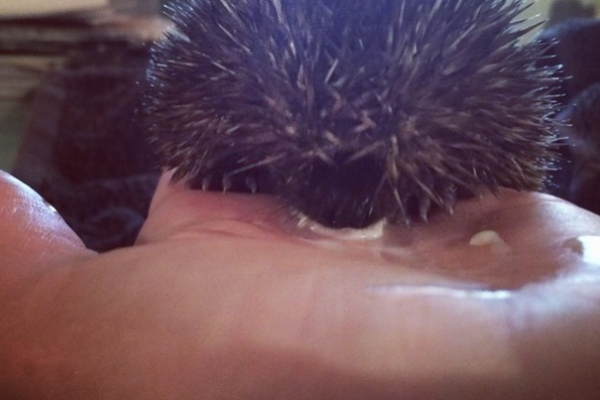 Hoglet lapping from my hand